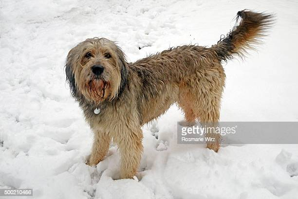 Bergamasco sheepdog in winter