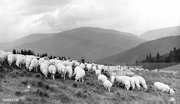 Berger et troupeau de moutons d'une coopérative agricole à Kráova Lehota Slovaquie le 1er août 1973