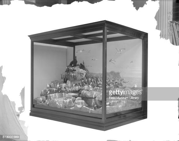 Bering Sea bird diorama which includes 51 birds with nests eggs and several nestlings shows a large habitat group that represents bird life in an...