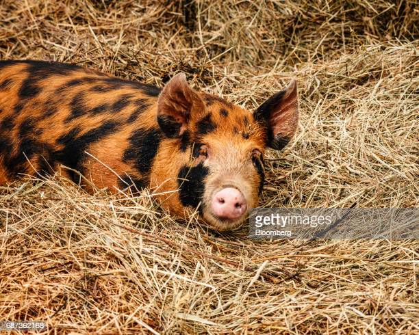 A Berkshire piglet lays in a pen at the Stone Barns farm in Pocantico Hills New York US on Friday April 21 2017 As customers are increasingly...