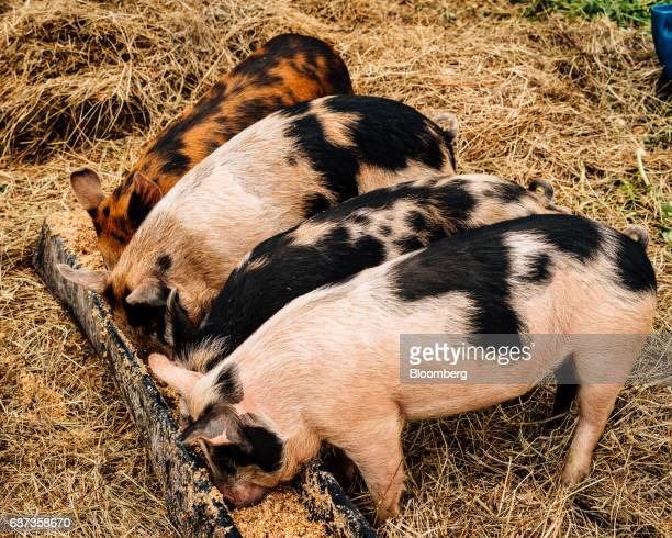 Berkshire piglets feed at the Stone Barns farm in Pocantico Hills New York US on Friday April 21 2017 As customers are increasingly demanding...