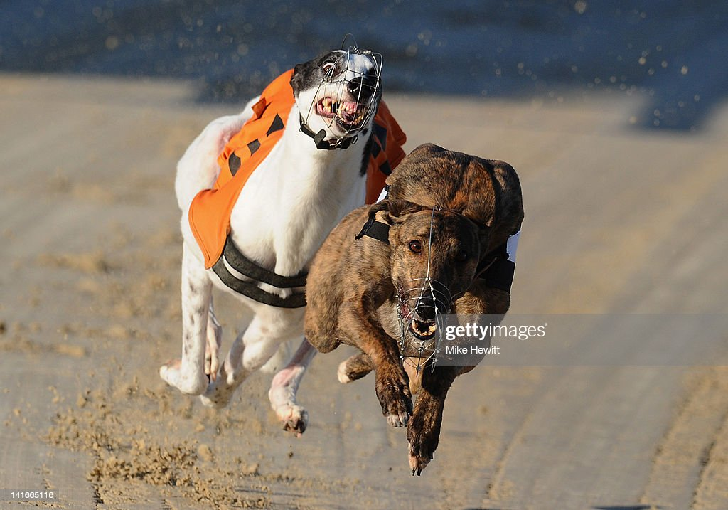 Berlin (R) battles with Hovex Lass during the 7th race at the Coral Brighton and Hove Greyhound Stadium on March 21, 2012 in Brighton, England.