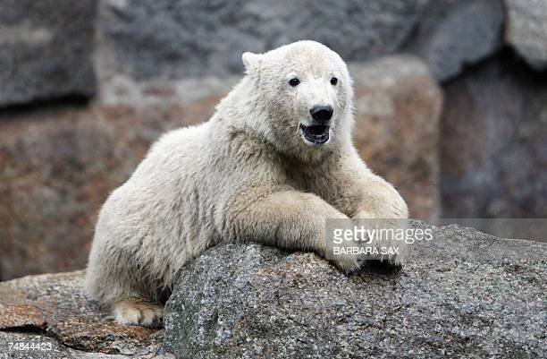 Sixmonthsold polar bear Knut sits in his enclosure at the zoo in Berlin 21 June 2007 Hundreds of visitors still flock to Berlin's zoo to get a...