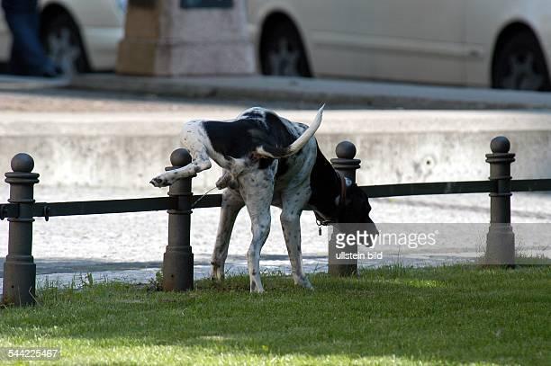 Hund uriniert gegen einen Zaun in der Innenstadt