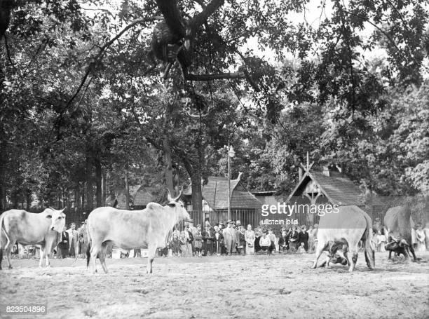 auerochs from breeding of zoo director Lutz Heck 1937