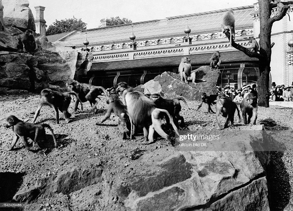Berlin Zoologischer Garten Das Pavian Freigehege im Zoo 1932
