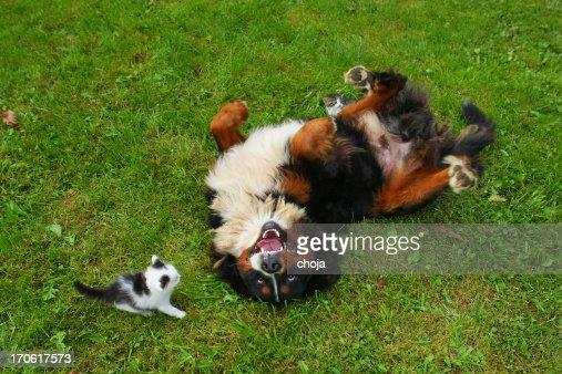 Bernese mountain dog and a young cat