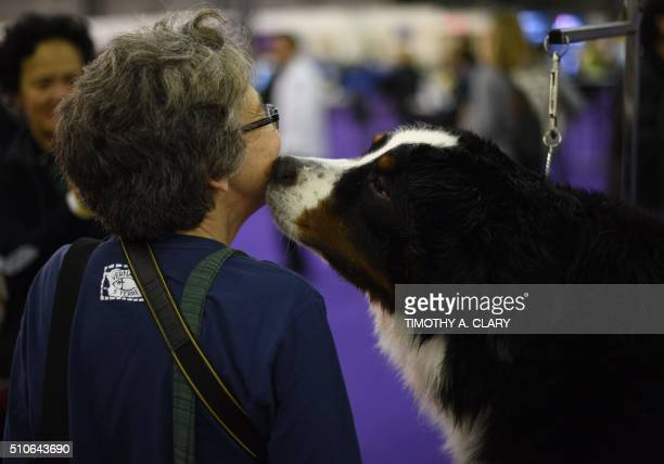 A Bernese Mountain Dog kisses a visitor as he is groomed in the benching area February 16 2016 in New York during Day Two of competition at the...