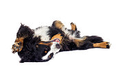 Bernese Mountain Dog lying on his back