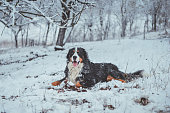 Bernese mountain dog enjoys the snow, portrait. Running in the snow. Dog catching snow.
