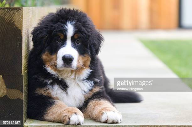Bernese Mountain Dog Puppy Winston