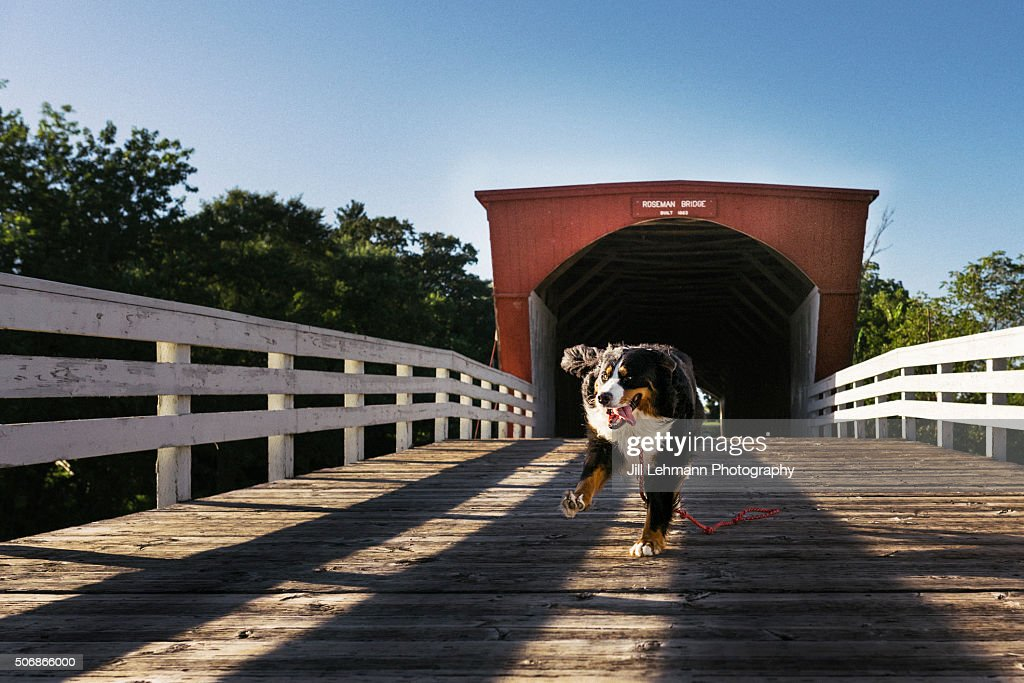 A Bernese Mountain Dog Races across a Wood Covered Bridge in Winterset, Iowa. Photo a winner in Madison County Bridge Festival - 2015