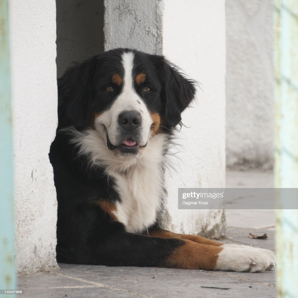 bernese mountain dog sitting in doghouse stock foto. Black Bedroom Furniture Sets. Home Design Ideas