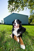 Bernese Mountian Dog, outdoor portrait