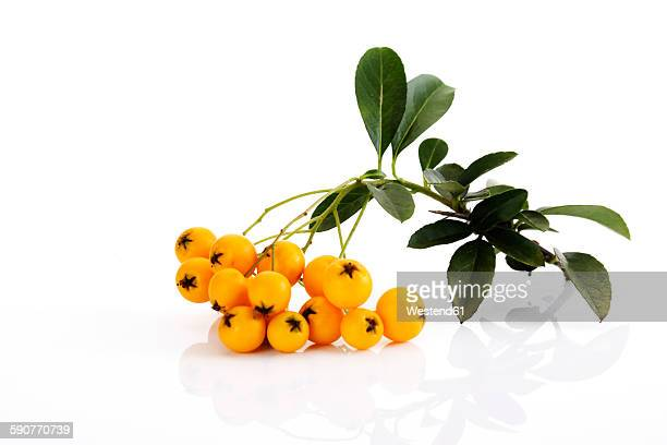 Berries and leaves of firethorn in front of white background