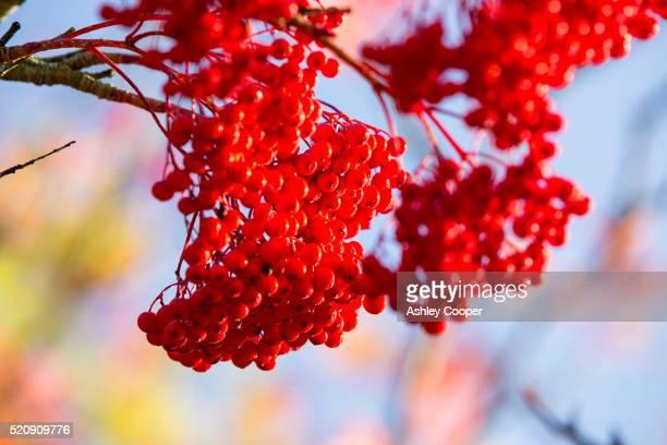 Berries on a Rowan tree in Holehird Gardens, Windermere, Lake District, Cumbria, UK.