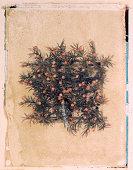 Berries on twigs