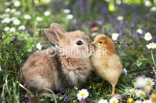 Best friends bunny rabbit and chick are kissing : Stock Photo