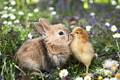 Here are rabbit bunny and chick.