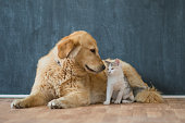 A golden labrador retriever lays on the floor in front of a clean chalkboard with a young kitten.