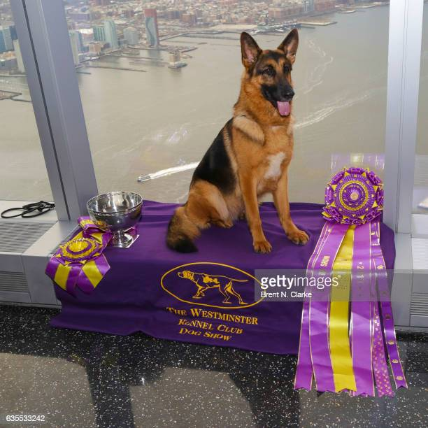 Best In Show winner at the 2017 Westminster Kennel Club Dog Show 'Rumor' a 5 year old German Shepherd poses for photographs during his visit to One...