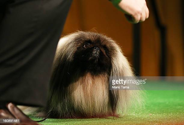 Best in Show winner Malachy a Pekingese stands at a press conference kicking off the 137th Annual Westminster Kennel Club Dog Show on February 7 2013...