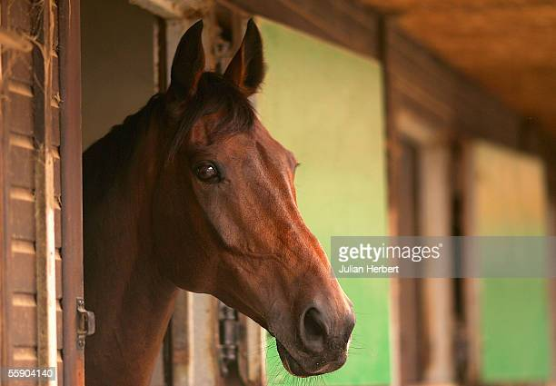 Best Mate looks out of his box at trainer Henrietta Knights Oxfordshire Yard on October 12 2005 in Wantage England The former Cheltenham Gold Cup...
