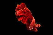 siamese fighting fish smooth move on black background