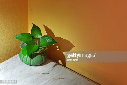Betel foglia verde in piccoli vasi : Foto stock