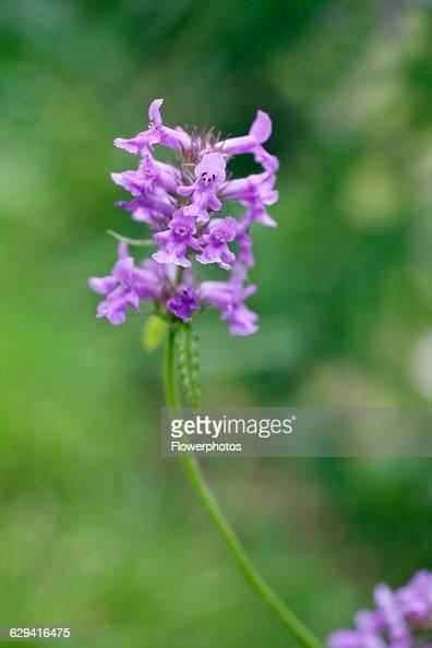 Betony Stachys officinalis