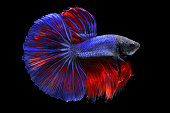 Betta fish isolated on black background
