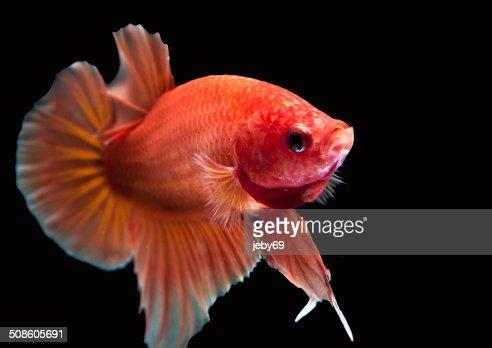 Peixe Betta, isolado no preto : Foto de stock