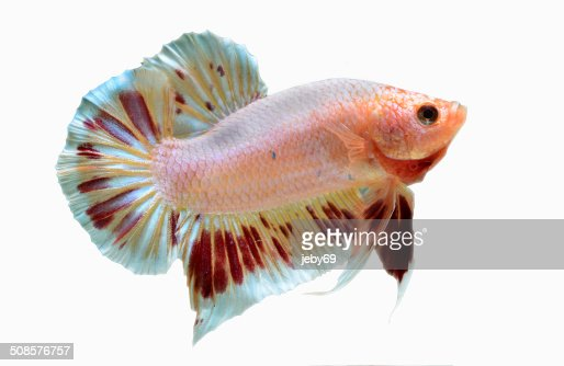 Betta Fish isolated on White : Bildbanksbilder
