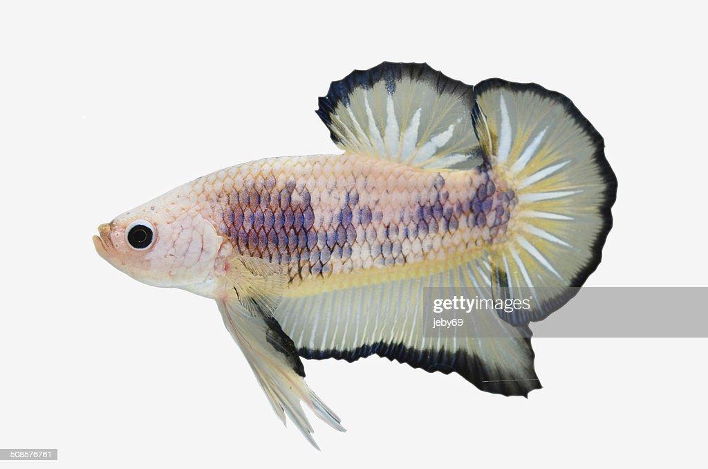 Betta Fisch, isoliert auf weiss : Stock-Foto