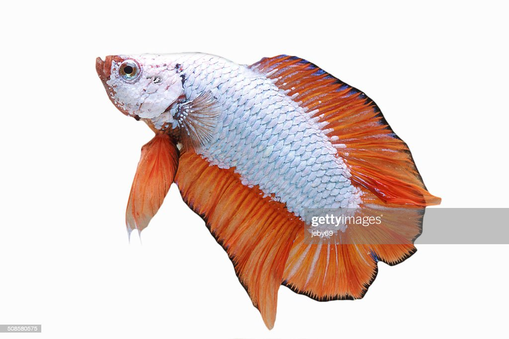 Betta Fish isolated on White : Stock Photo