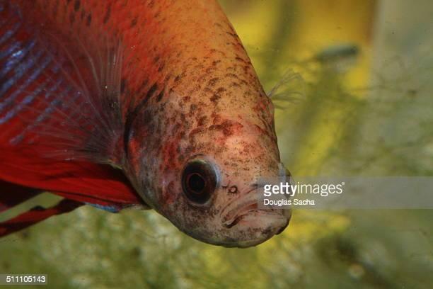 Betta fish looking