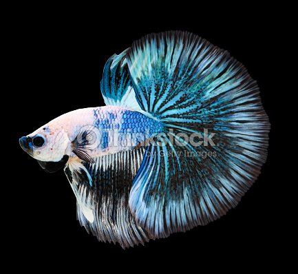 Betta poisson betta poisson combattant siamois splendens for Nourriture pour poisson combattant