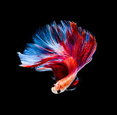 Betta fish siamese fighting fish betta splendens isolated on black background