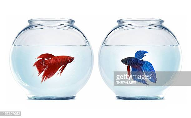 betta fishes
