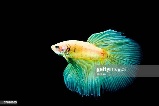 Betta Splendens-Fisch