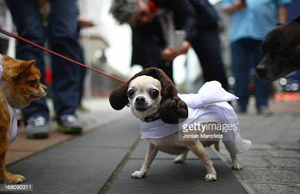 Betty a Teacup Chihuahua is dressed up as the character Princess Leia from the film Star Wars on May 5 2013 in London England Enthusiasts gathered at...