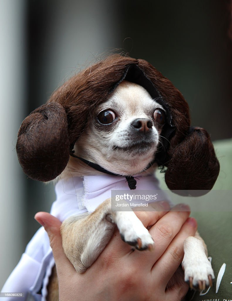 Betty, a Teacup Chihuahua is dressed up as the character Princess Leia from the film Star Wars on May 5, 2013 in London, England. Enthusiasts gathered at the Picture House in Stratford to parade their dogs dressed up as famous Sci-Fi characters as part a London-wide event called Sci-Fi London.