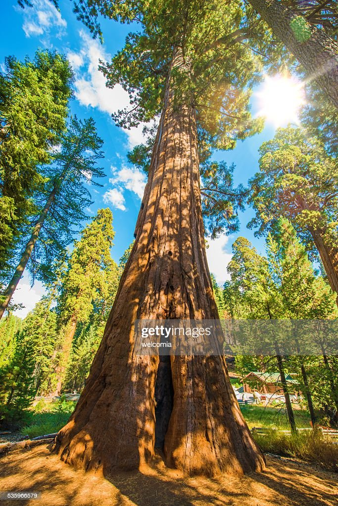 Between Sequoias : Stock Photo