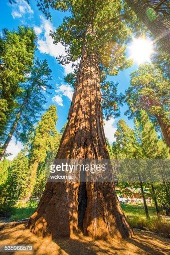 Between Sequoias : Stock Photo