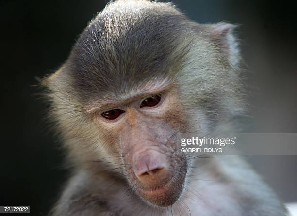A Baboon is on display at the 12th Annual Safari Brunch a fundraiser for Wildlife Waystation held at the Playboy Mansion in Beverly Hills California...