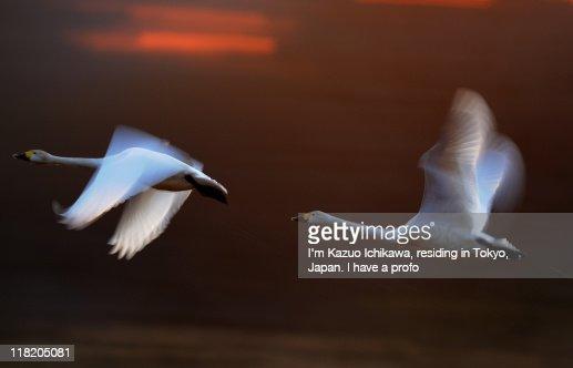 Bewick swans