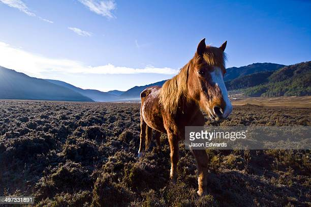 A Bhotia Pony with pointy ears catches warming sun rays roaming on a Himalayan wetland at dawn.
