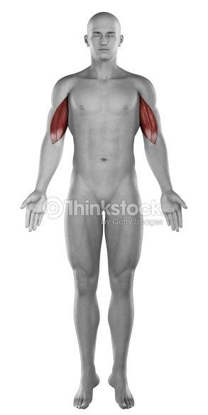 Biceps Los Músculos Hombre Anatomía Vista Anterior Aislado Foto de ...