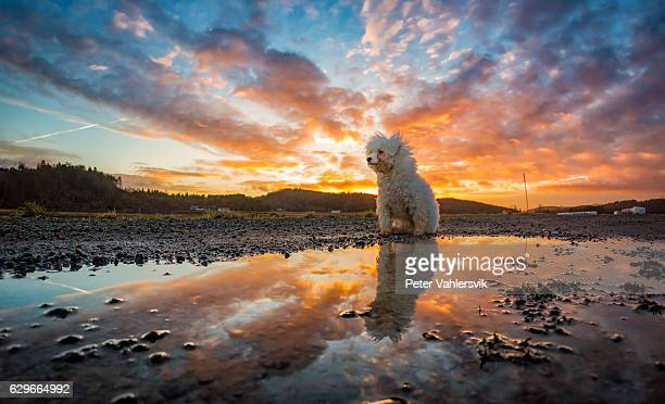 Bichon Frisé reflected in water during sunset