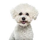 Bichon Frise dog in portrait against white background